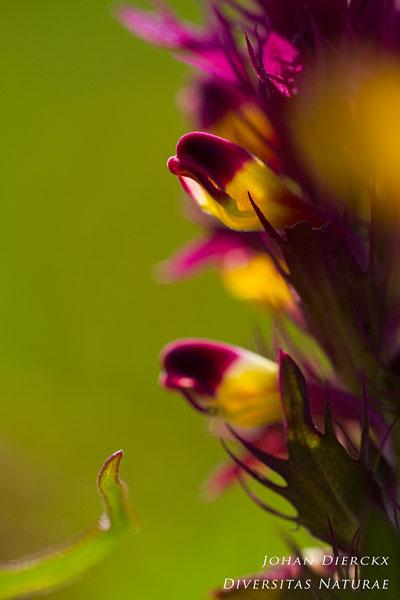 Melampyrum arvense - Wilde weit