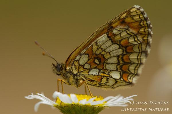 Melitaea aurelia - Steppeparelmoervlinder