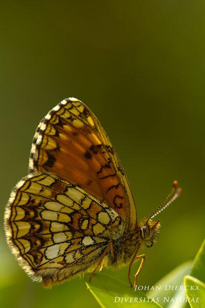 Melitaea diamina - Woudparelmoervlinder