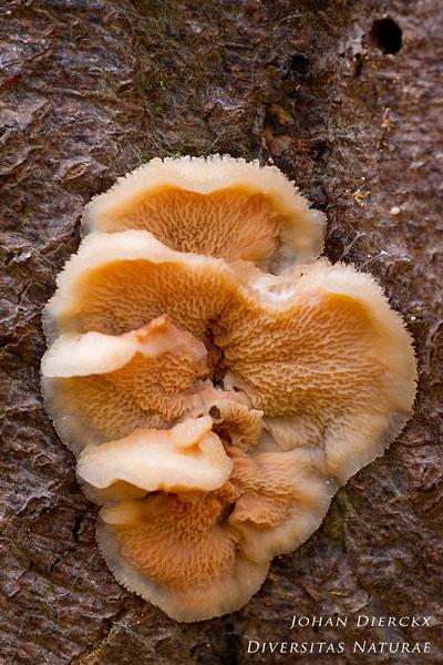 Phlebia tremellosa - Spekzwoerdzwam