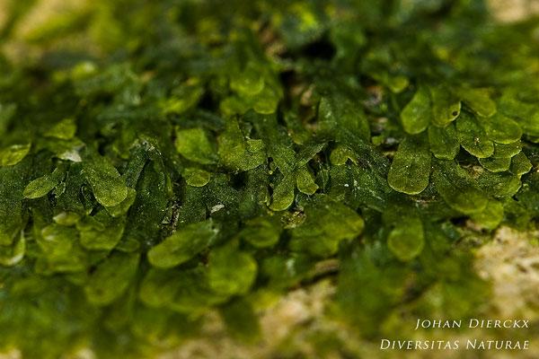 Metzgeria furcata - Bleek boomvorkje