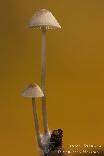 Mycena vitilis - Papilmycena