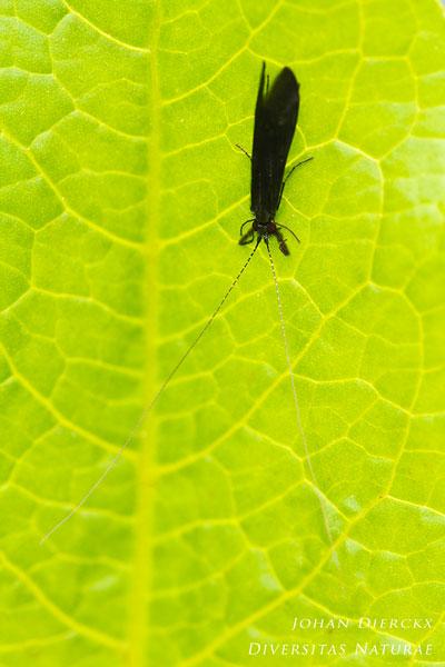 Mystacides niger