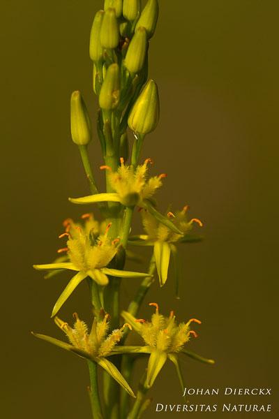 Narthecium ossifragum - Beenbreek