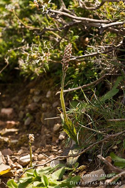 Neotinea maculata - Nonnetjesorchis