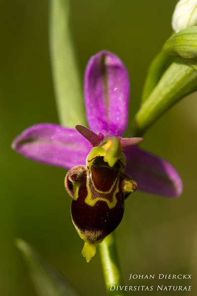 Ophrys apifera x Ophrys fuciflora