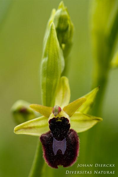 Ophrys bertoloniiformis x Ophrys incubacea