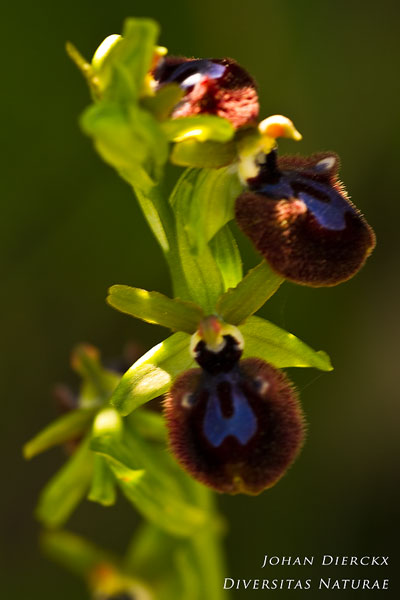 Ophrys chestermanii x Ophrys incubacea