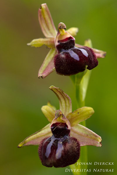 Ophrys passionis x Ophrys sipontensis