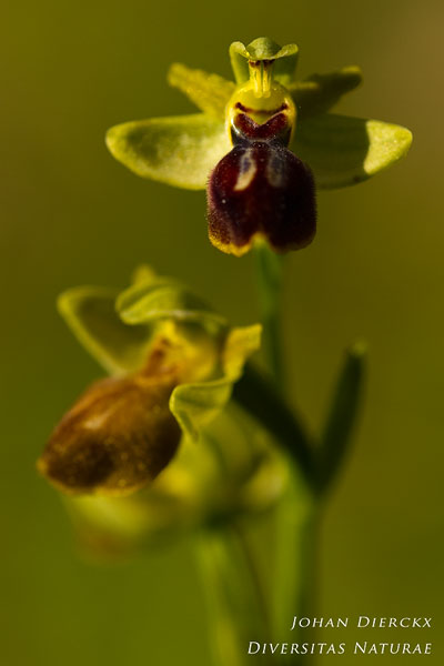 Ophrys incubacea x Ophrys sicula
