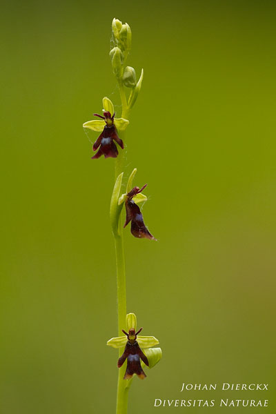 Ophrys insectifera - Vliegenorchis