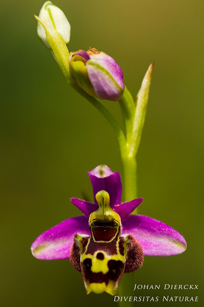 Ophrys montiliensis
