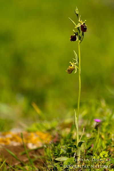 Ophrys parvimaculata