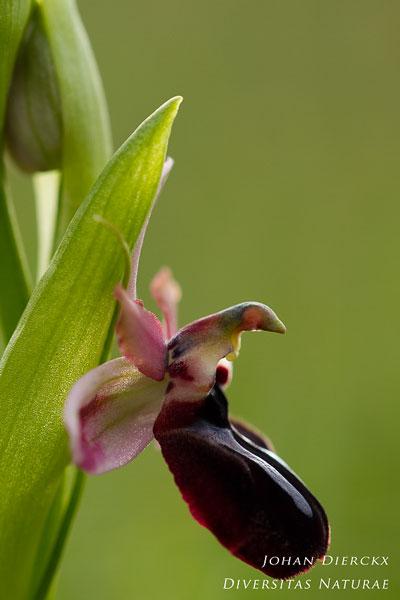 Ophrys sipontensis