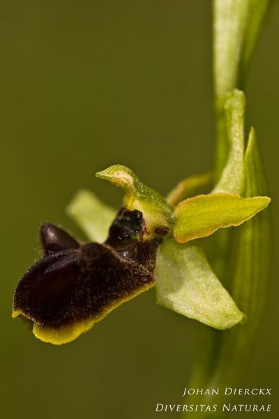 Ophrys sphegodes - Spinnenorchis