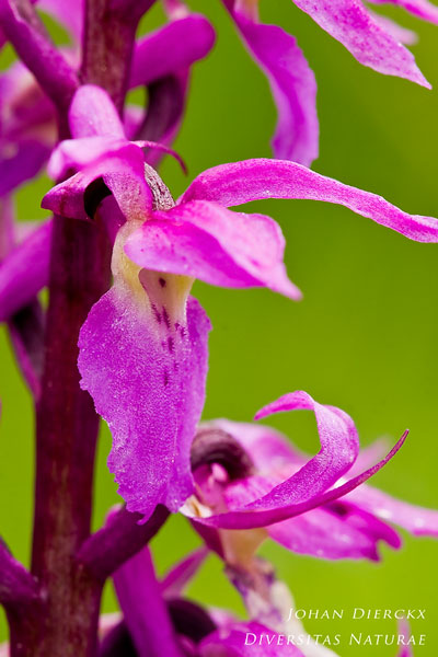 Orchis ovalis
