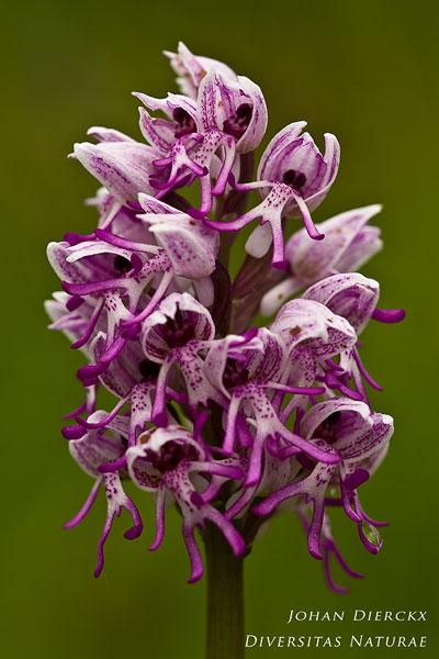 Orchis simia - Aapjesorchis