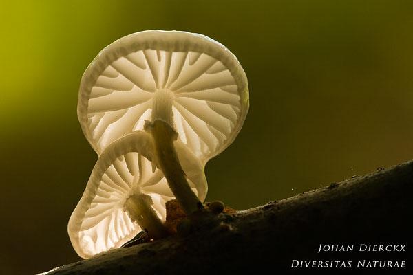 Oudemansiella mucida - Porseleinzwam