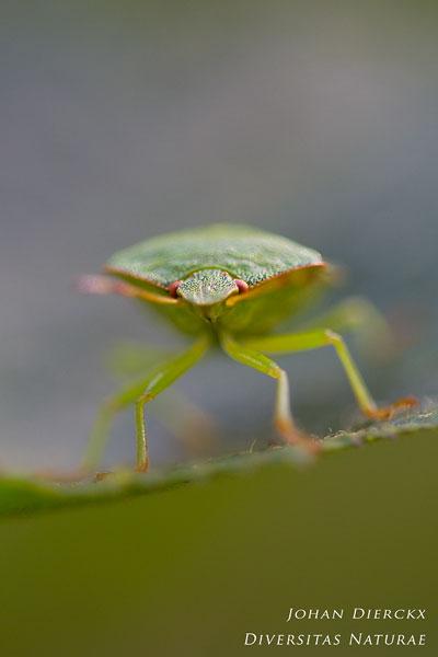 Palomena prasina - Groene schildwants