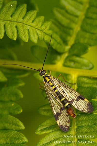 Panorpa communis - Gewone Schorpioenvlieg