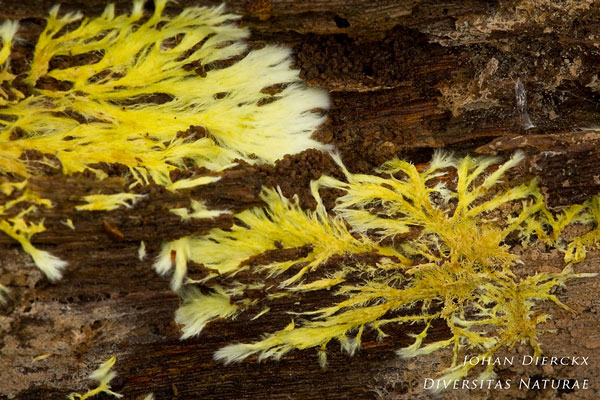 Phlebiella vaga - Zwavelschorszwam