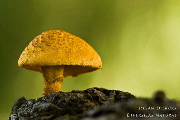Pholiota tuberculosa - Oranjegele bundelzwam