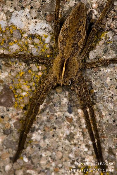 Pisaura mirabilis - Kraamwebspin
