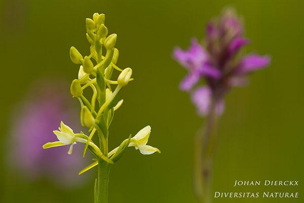 Platanthera bifolia - Welriekende nachtorchis en Dactylorhiza maculata - Gevlekte orchis
