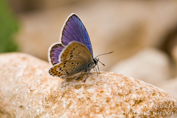 Plebejus argyrognomon - Kroonkruidblauwtje