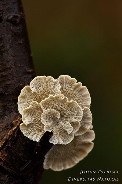 Plicaturopsis crispa - Plooivlieswaaiertje