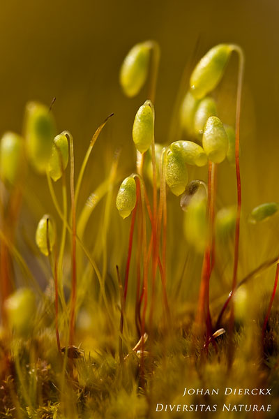 Pohlia nutans - Gewoon peermos