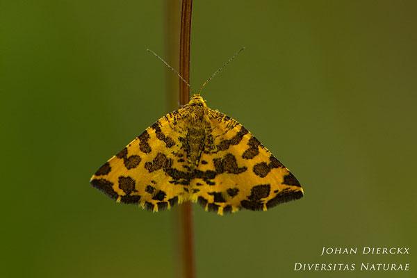 Pseudopanthera macularia - Boterbloempje
