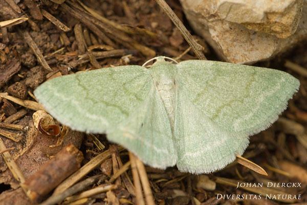 Pseudoterpna pruinata - Grijsgroene zomervlinder