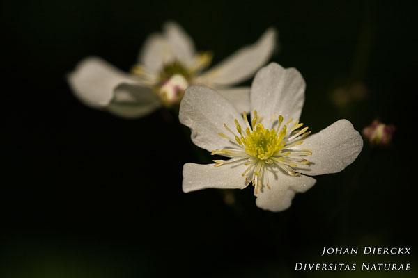 Ranunculus platanifolius - Witte boterbloem