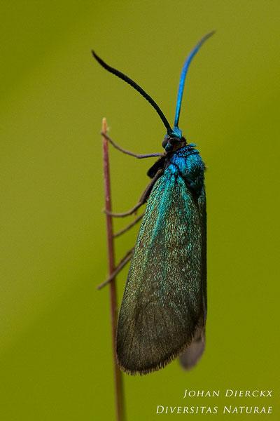 Rhagades pruni - Bruine metaalvlinder