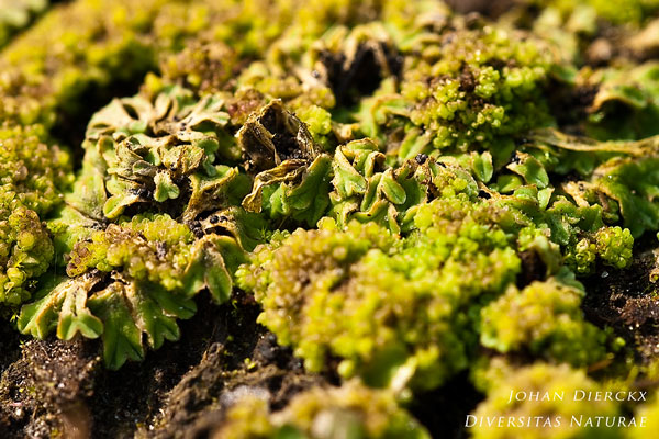 Riccia glauca - Gewoon landvorkje