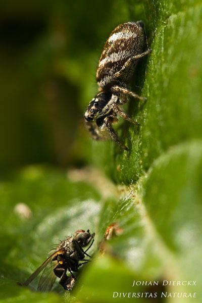 Salticus scenicus - Huiszebraspin