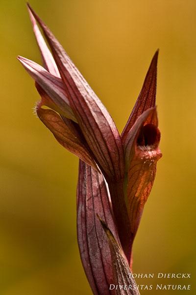 Serapias bergonii