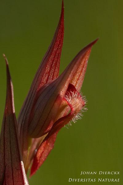 Serapias vomeracea - Lange tongorchis