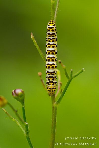 Shargacucullia scrophulariae - Helmkruidvlinder