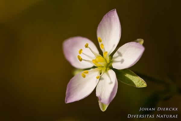 Spergularia salina - Zilte schijnspurrie