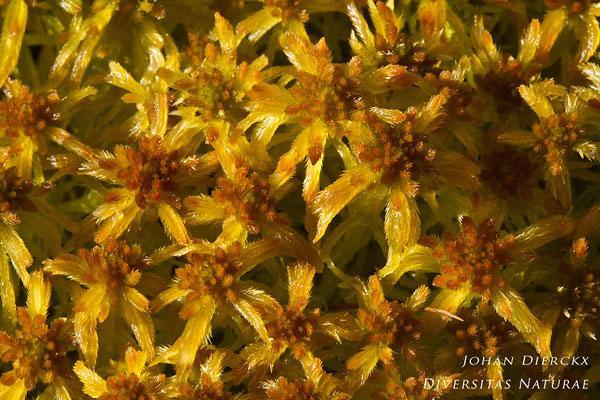Sphagnum fallax - Fraai veenmos