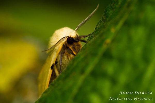 Spilosoma lutea - Gele tijger