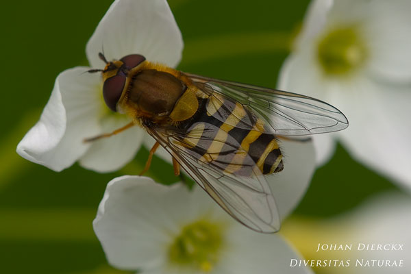 Syrphus ribesii - Bessenbandzweefvlieg
