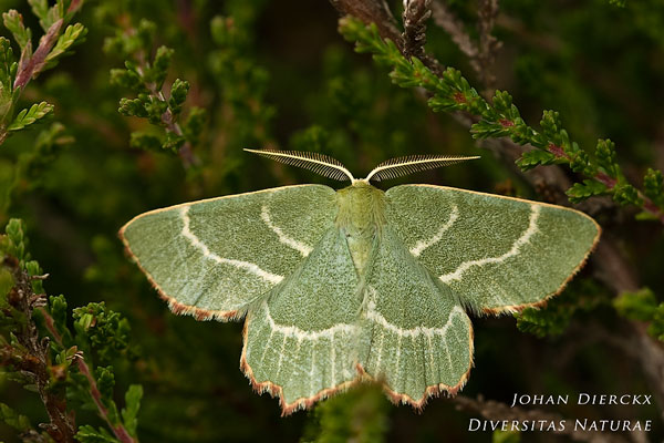 Thalera fimbrialis - Geblokte zomervlinder