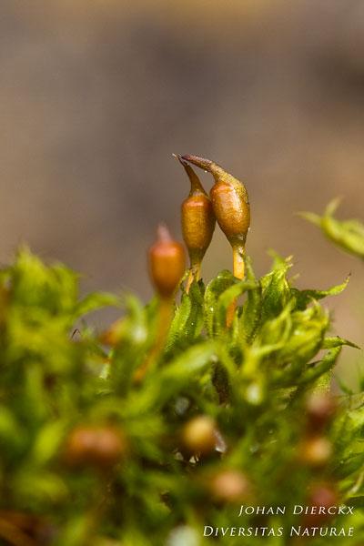Tortula truncata - Gewoon kleimos