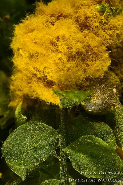 Trichia persimilis - Goudgeel Draadwatje