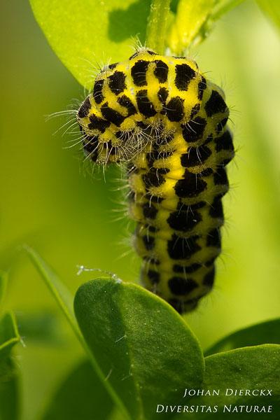 Zygaena filipendulae - Sint-jansvlinder