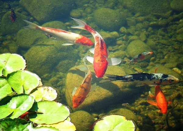 Building Fish Pond Your Backyard