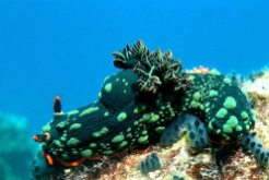 Nudibranch on Tioman